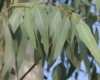 Eucalipto, Eucalyptus globulus